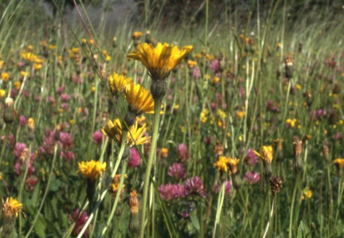 Zierrasen oder Blumenwiese?